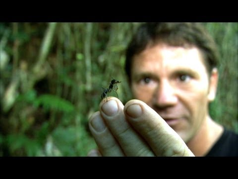 Thumbnail: World's Biggest Ant! - Bullet Ant - Deadly 60 - Series 2 - BBC