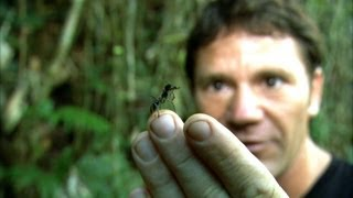 World's Biggest Ant! - Bullet Ant - Deadly 60 - Series 2 - BBC
