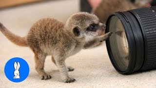 Meerkat Pups Playing - CUTEST Compilation