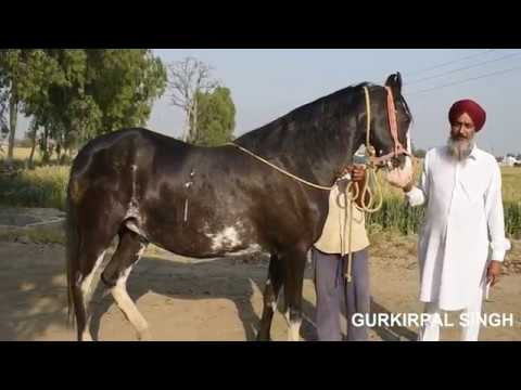 Interview with Amarjeet singh horse breeder from Punjab