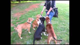 Photo-essay: Lena The Amstaff Dog