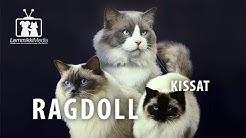 Kissat: Ragdoll on hurmaava kissarotu