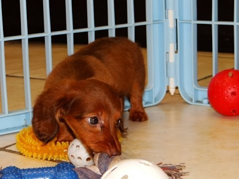 Miniature Dachshund, Puppies, Dogs, For Sale, In Tampa, Florida, FL, 19Breeders, Fort Lauderdale