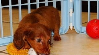 Miniature Dachshund, Puppies, For, Sale, In, Little Rock, Arkansas, Ar, Russellville, Jacksonville,