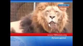 Такса и лев стали лучшими друзьями! ТБН - Россия thumbnail