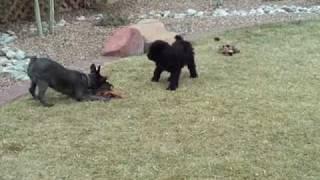 Dog Fight Schnauzer Vs Poodle Puppy
