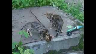 Бенгальские котята - домашние леопарды