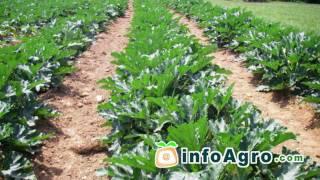 Courgette growing. (Cucúrbita pepo) 2/2