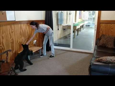 """Super Giant Schnauzer """"Yanis"""" 5 Month Obedience Training Dog For Sale W/Training"""