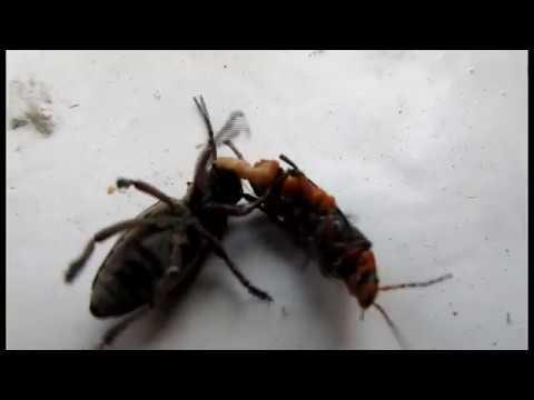 Противостояние: ЖУК УСАЧ VS ЖУК ПОЖАРНИК. Наблюдение за насекомыми. Одесса апрель 2018
