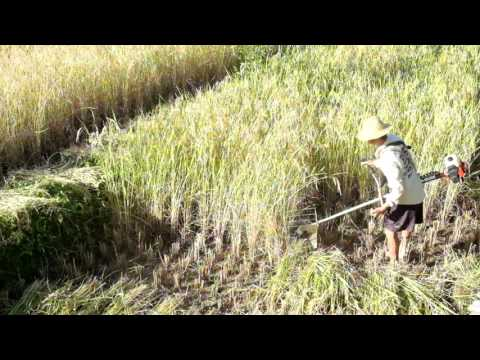 Some technology involved in rice harvesting in Thailand