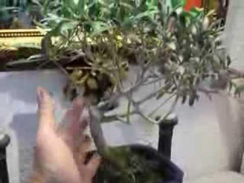 Bonsai Olivo u Olea