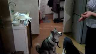 Ловкость собаки породы Сибирская Хаски