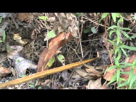 Bothrops venezuelensis rattle like a rattlesnake(Crotalus),El Avila N.P.Caracas,Venezuela 9/5-2009