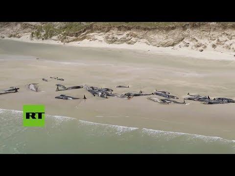 Unas 145 ballenas piloto mueren tras quedarse varadas en Nueva Zelanda