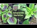 Growing Amaranth Greens - A Nutrition Powerhouse