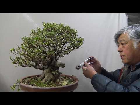 Bonsai master cut 70 years tree boldly. Part 1