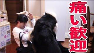 毎日帰宅する息子の時の秋田犬ソウスケと シェパード犬マックのお帰りの...