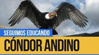 El Cóndor, un ave que vuela los cielos andinos - Seguimos Educando
