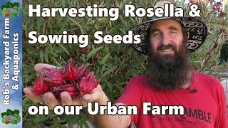Harvesting Rosella & Sowing Seeds on our Urban Farm