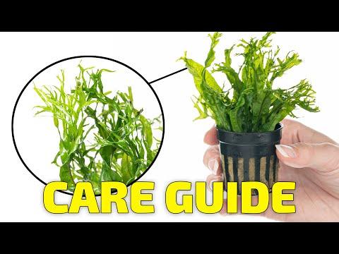 Easy Aquarium Plants - Java Fern Windelov  Care On Aquarium Driftwood. Beginner Aquarium Plants
