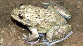 Cắm câu Ếch : mồi sống (Plug the frog)