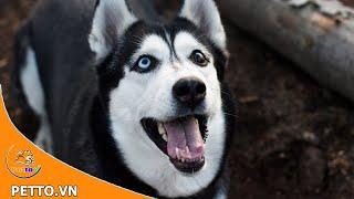 Chó Husky Siberian - Loài Chó Có Gương Mặt Ngáo Nhất Thế Giới - Peттo TV