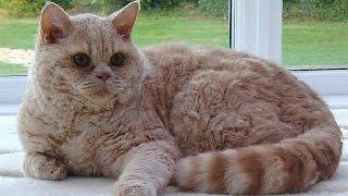 Лаперм, Породы кошек, описание, уход