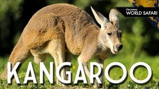 Kangaroos Can Jump 30 Feet High
