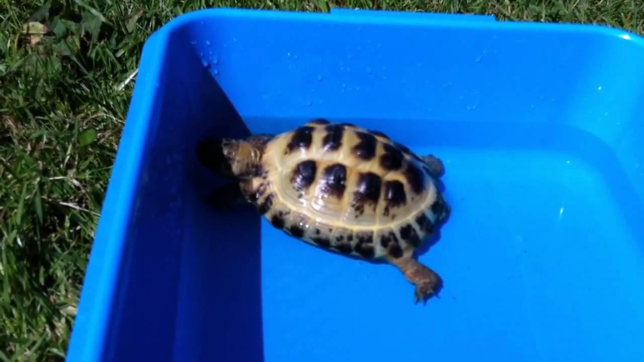 How to Bathe a Russian Tortoise