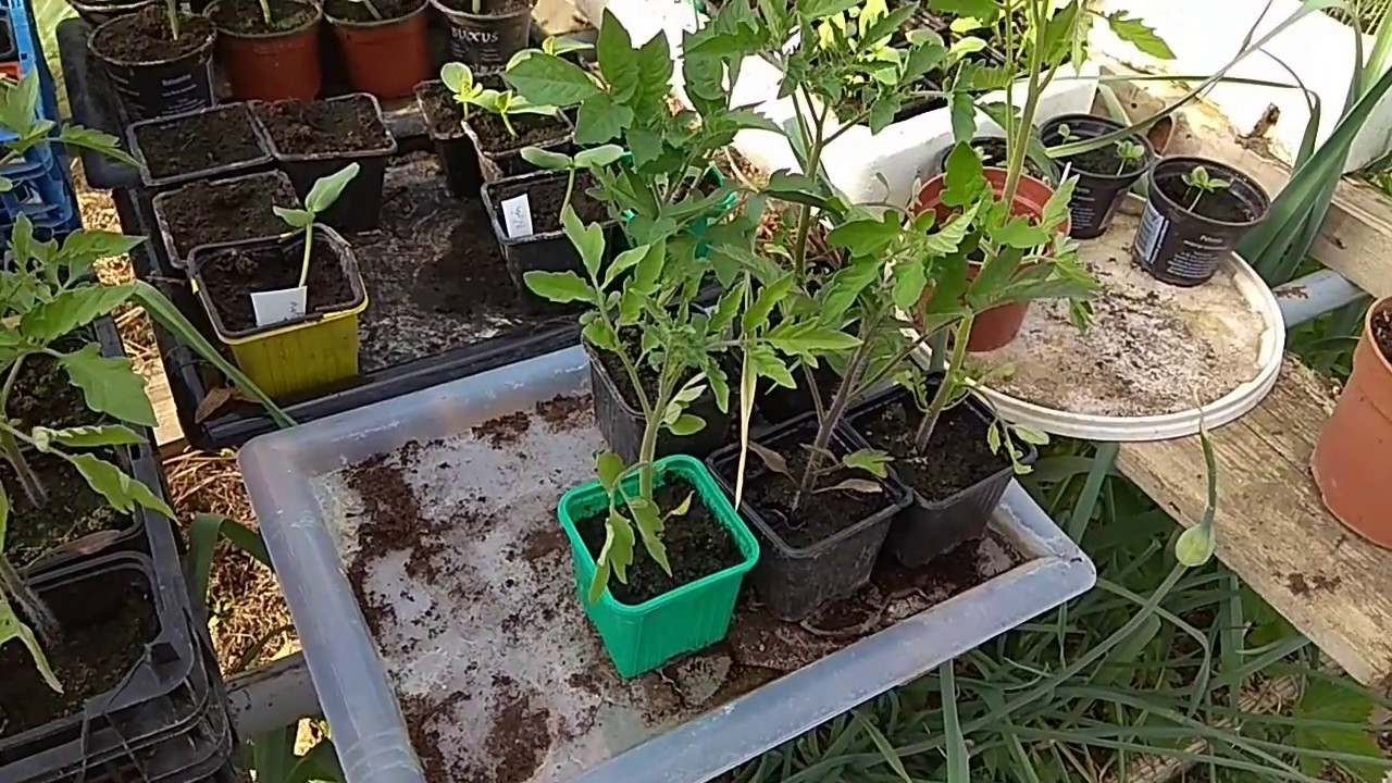 Comment et quand planter des tomates - Une méthode simple ...