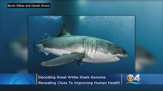 Florida Scientists Help Decode Great White Shark Genome Revealing Clues To Living Longer and Cancer
