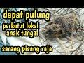 Sebesar Burung Mprit Perkutut Anak Tungal Sarang Pisang Raja  Mp3 - Mp4 Download