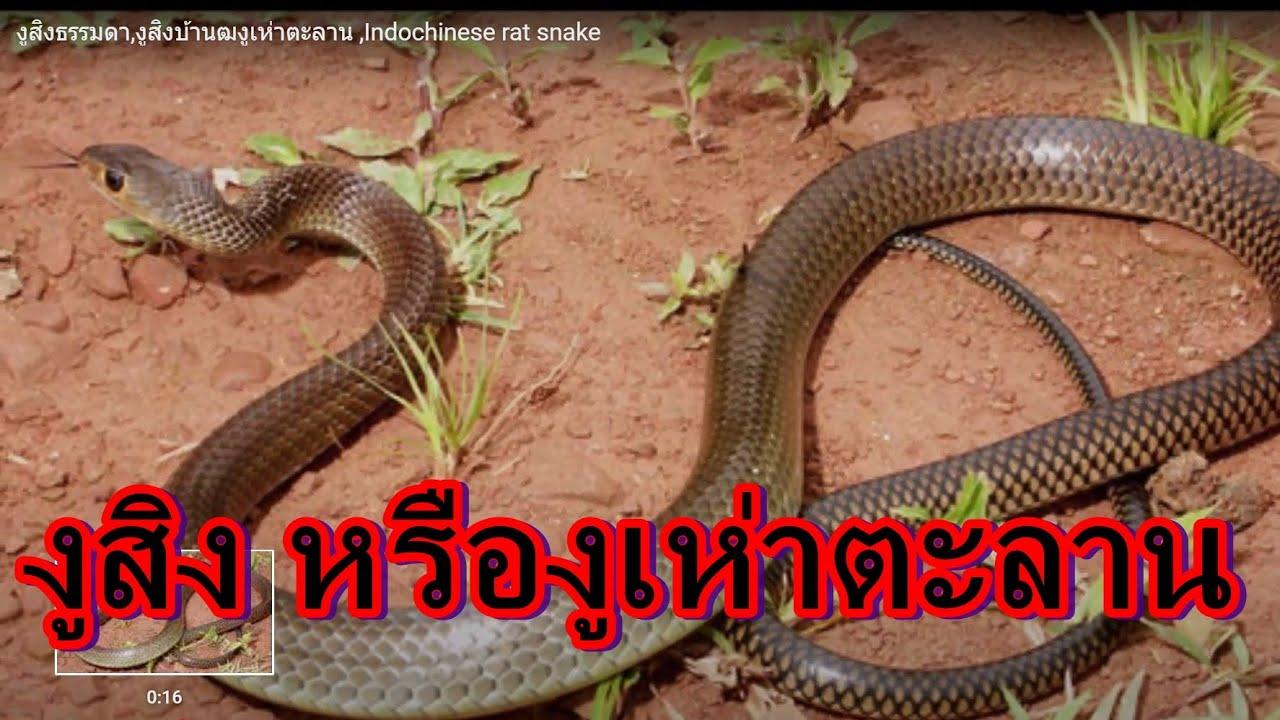งูสิงธรรมดา,งูสิงบ้านฒงูเห่าตะลาน ,Indochinese rat snake