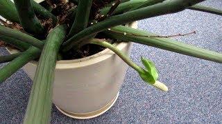 Цветение ЗАМИОКУЛЬКАСА. Зачем удалять цветки?