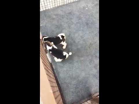 Wholesale market to buy beagle puppy 9212 501 257 beagle puppies for sale in Delhi pet shop