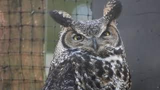 Casting an Owl Pellet