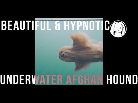 Beautiful & Hypnotic Underwater Afghan Hound In Slow Motion