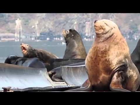 Steller Sea Lion Fight