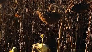 Подсолнечник готов.. Скосили кукурузу,урожайность.