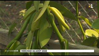 La vanille pompona de Guyane, une richesse endémique remise au goût du jour
