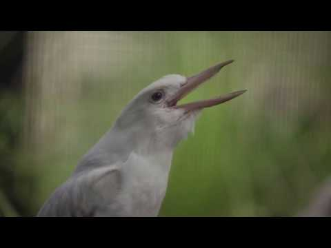 Albino Kookaburra Laughing in Slow Motion is hilarious