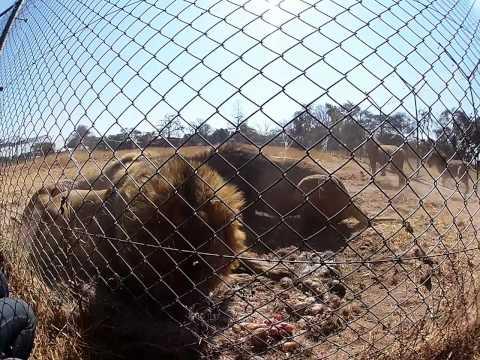 Lion Feeding - Antelope Park, Zimbabwe
