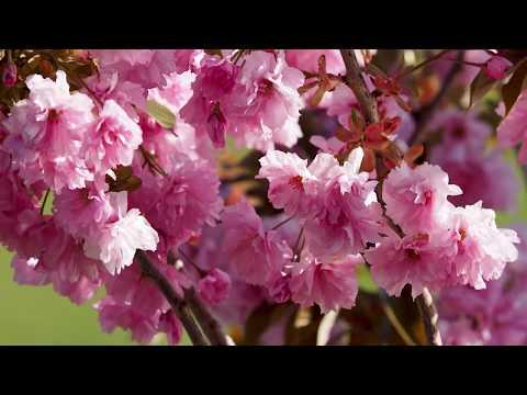 Hanami für immer. Wir feiern die unvergängliche Kirschblüte.