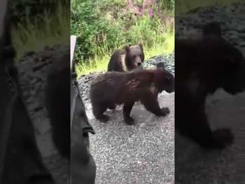 The Ace & TJ Show - Man Tries to Pet a Wild Bear!