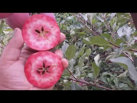 Яблоня красномясая осенний сорт Цирцея (apple Redlove Circe). Достоинства и отличие данного сорта.