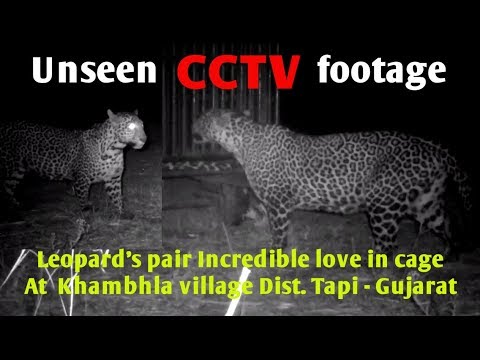 Unseen CCTV footages | Leopard pair Incredible love in cage तेंदुए के अटूट प्यार का अनोखा विडिओ