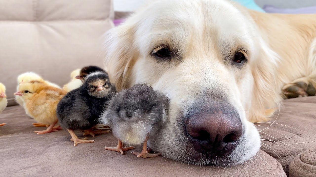Cute Baby Chicks think the Golden Retriever is their Mother