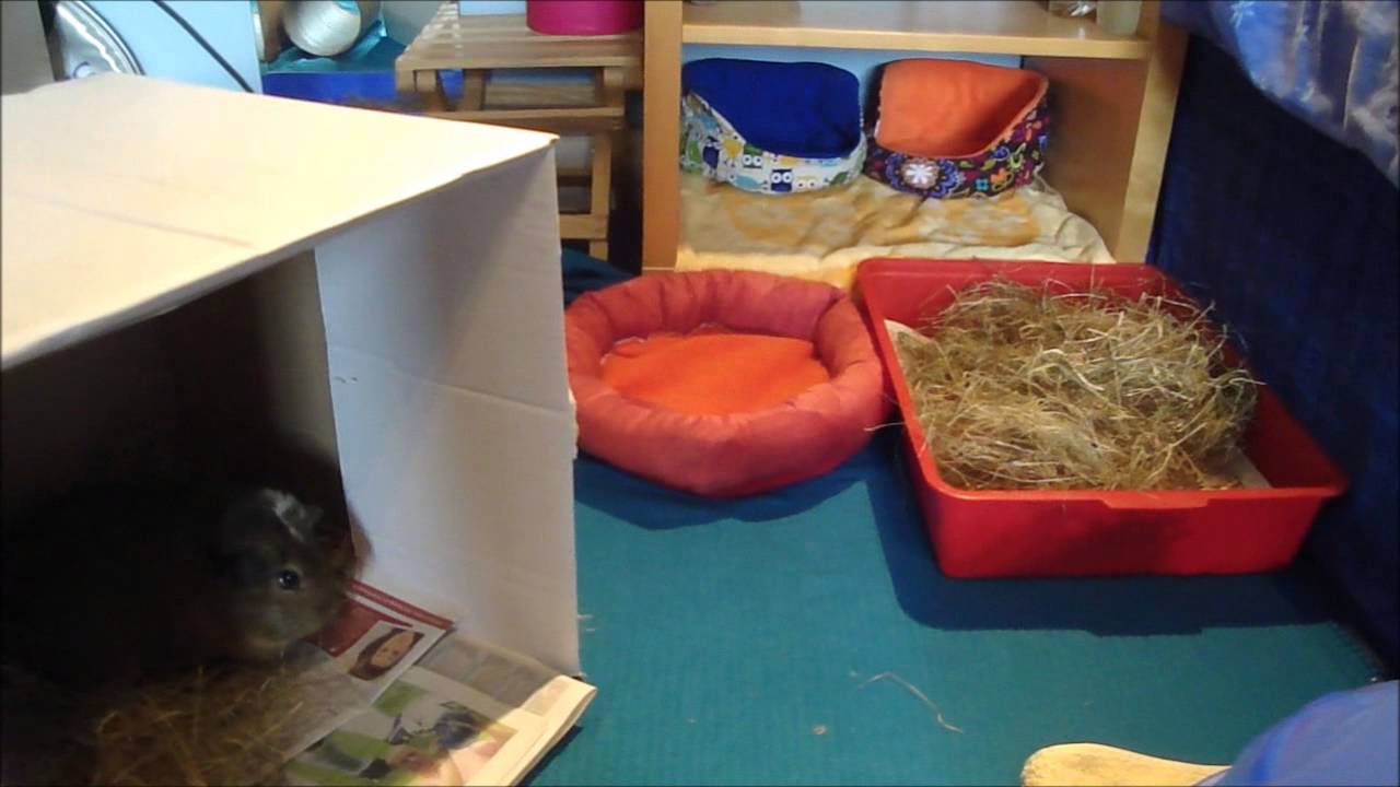 Guinea Pig Floortime: Tips And Advice!