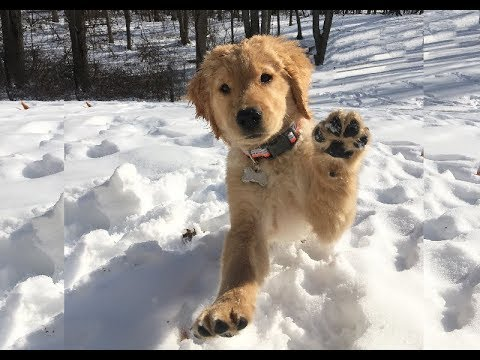 Golden Retriever Puppy Playing In Snow For The First Time